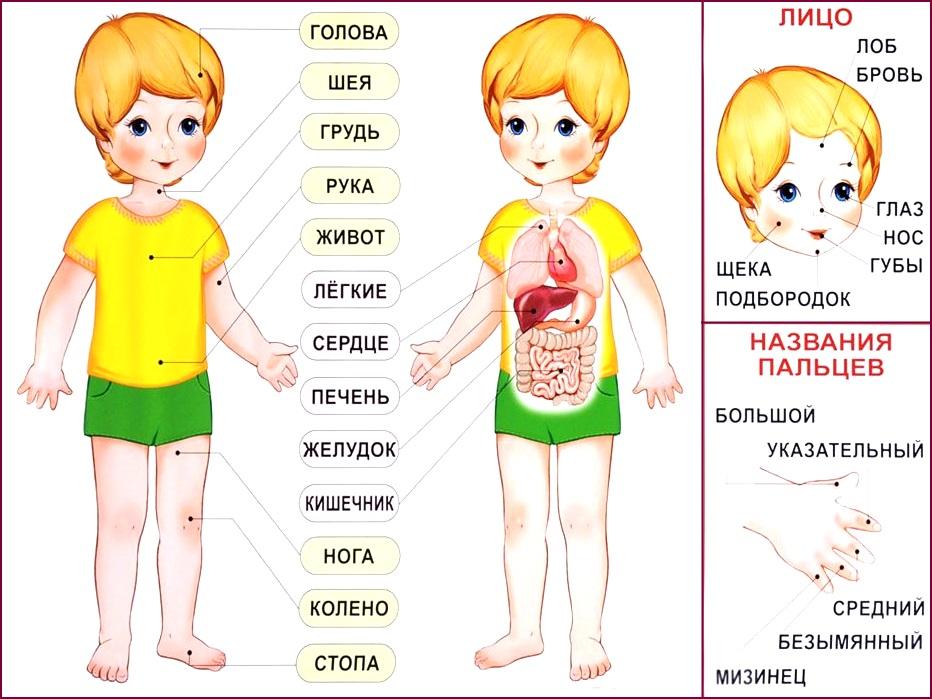 Тело человека строение