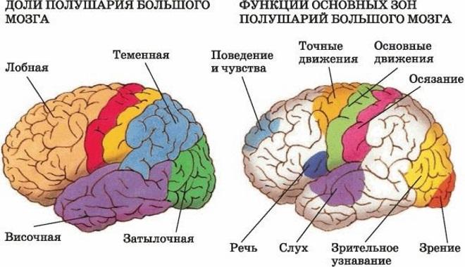 Доли мозга, функции полушарий